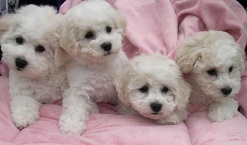 Bichon Frise Puppies on With Lots Of Bichon Frise Puppies Going To New Homes This Season Folks
