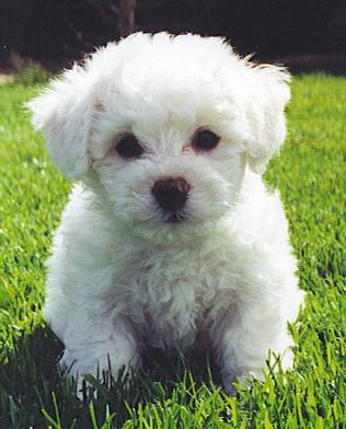 Bichon Frise Dog Puppies