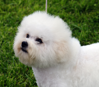 your Bichon Frise sick so Bichon Frise Akc